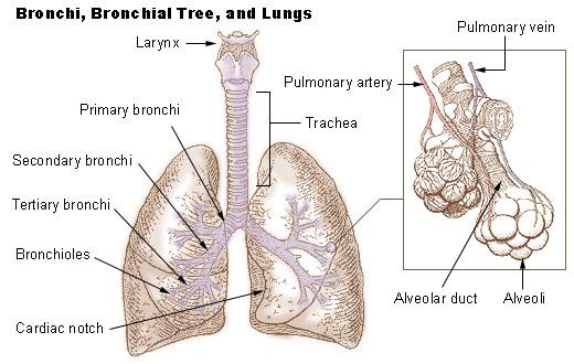 illu_bronchi_lungs