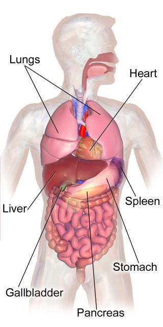 Abdominal_Organs_Anatomy