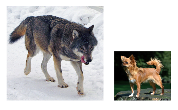 dogwolf